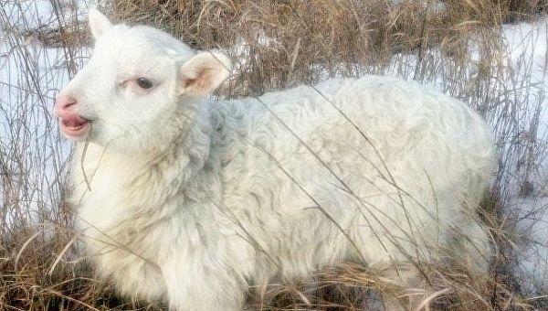 Овца в хозяйстве Асият Матуевой
